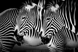 Animais/Um mundo de Zebras