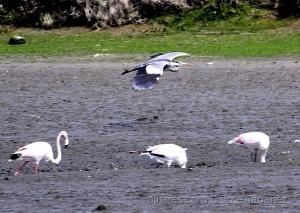 Animais/A garça-real e os flamingos