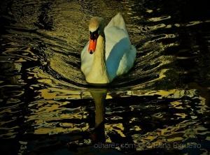 /O lago do cisne ...