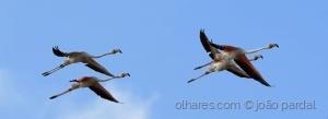 /Flamingos Voando