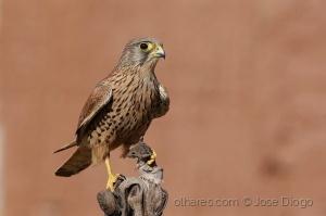 /(Falco tinnunculus)