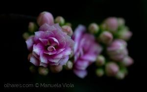 Macro/Flor de cacto