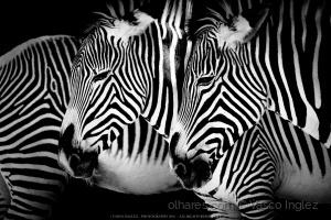 Animais/Zebras em traços negros