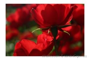 /Um desejo chamado Rosa