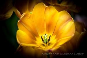 /Tulip