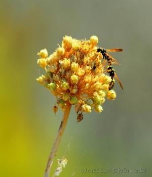 /Flor do Sapal - 2