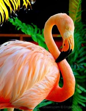 /Flamingos do Caribe