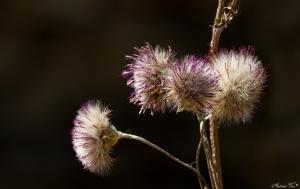 /Carduus carpetanus