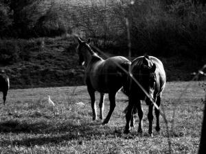 /garças e cavalos...