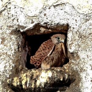 /Falco tinnunculus (Para o Jorge Magalhães) Ler p.f
