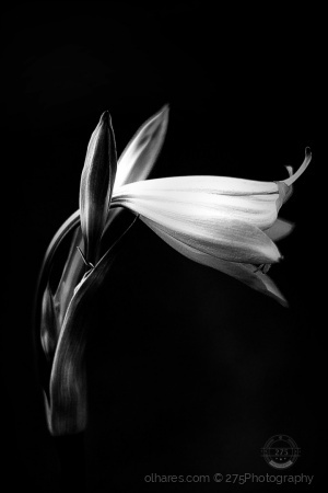 Macro/lily in the dim light