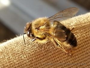 /a abelha