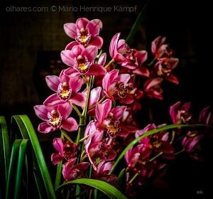 /Orquídea.
