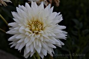 Macro/Branca cor da paz