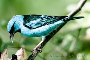 /Saí-azul (macho)  (ler desc.)