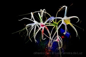 Outros/Spider lily