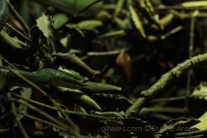 Outros/Cobra verde