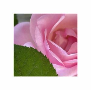 /Rosa rosa