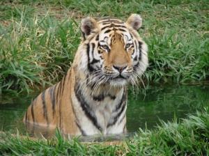 Animais/Tigre