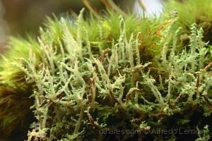 /Cladonia Coniocraea