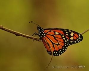 /Borboleta Monarca