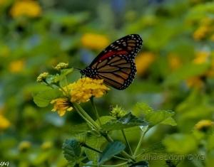 Paisagem Natural/borboleta tambem come