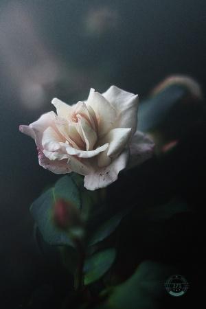 Paisagem Natural/heavenly roses seem to whisper