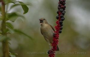 /Felosa-das-figueiras (Sylvia borin)