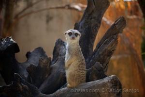 /Suricata - Zoo de Lisboa