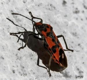 /escaravelho?
