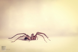 Animais/brown spider