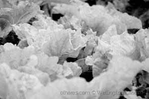/White Leaves