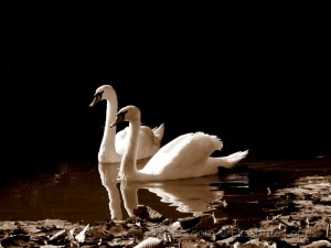 Animais/O Lago dos cisnes