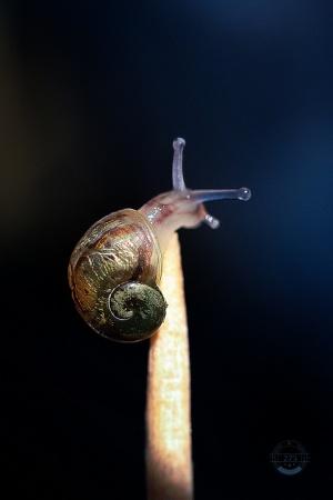 Macro/equilibrista (jovem caracol em palito)