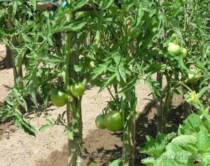 /Os meus tomates...... (PF ler)