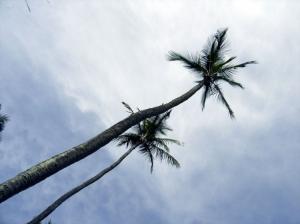 Paisagem Natural/Palmeiras em Ilhabela