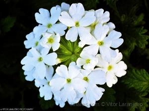 /Flores do Meu Jardim.. (De Branco Vestida..)