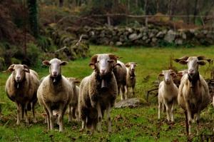 /Rebanho de Ovelhas no Vale do Bestança - Cinfães