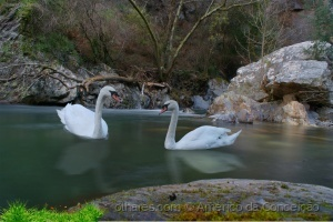 Animais/Lago dos Cisnes