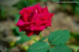 Outros/Rosa vermelha