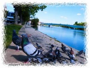 """/"""" L' YONNE ... la curiosité du pigeon"""" III (Ler)"""