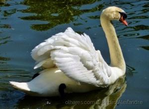 /O suave deslizar do cisne
