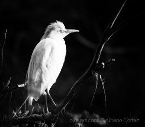 Animais/Bubulcus ibis - garça boieira