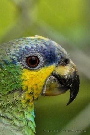 /Papagaio do mangue (Amazona amazonica) (ler)