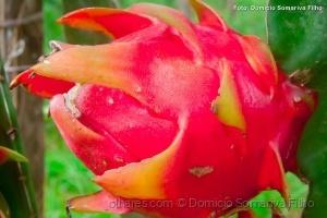 Outros/Pitaya (fruto)