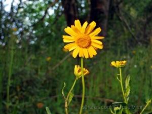 /Flor do bosque