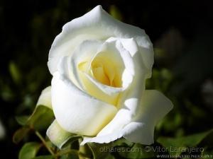 /Flores do Meu Jardim.. (De Branco Vestida.. )