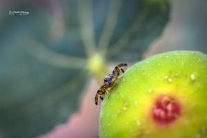 /Mosca da fruta (ou do Mediterrâneo)