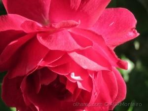 /Rosa vermelha.