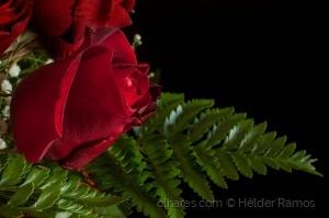 Macro/RED Rose